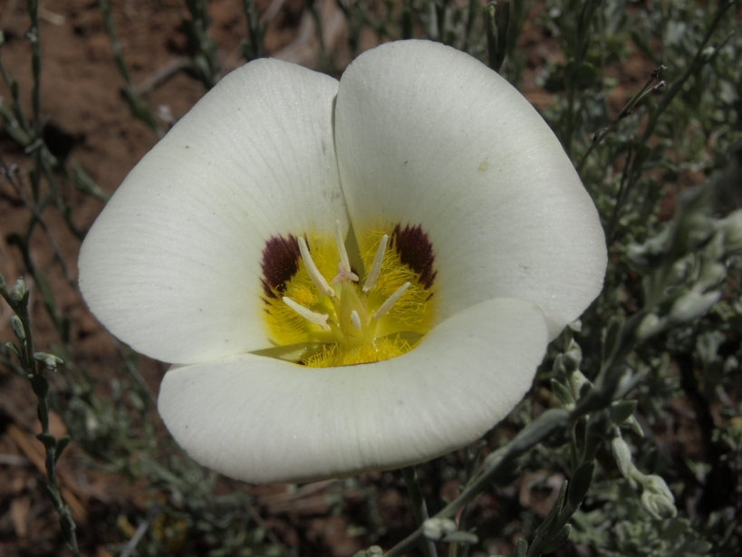Leichtlin mariposa lily, Calochortus leichtlinii, Sierra Nevada, Peavine Mountain, Humboldt Toiyabe National Forest, elevation 1950 m (6395 ft)
